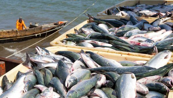Mùa đánh cá hồi ở Sakhalin - Sputnik Việt Nam