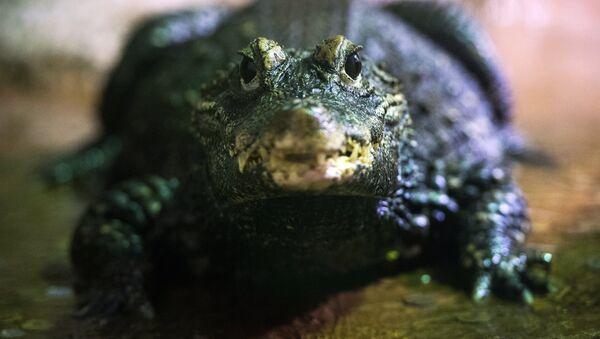 Cá sấu  - Sputnik Việt Nam