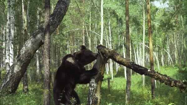 Con gấu trong rừng taiga - Sputnik Việt Nam