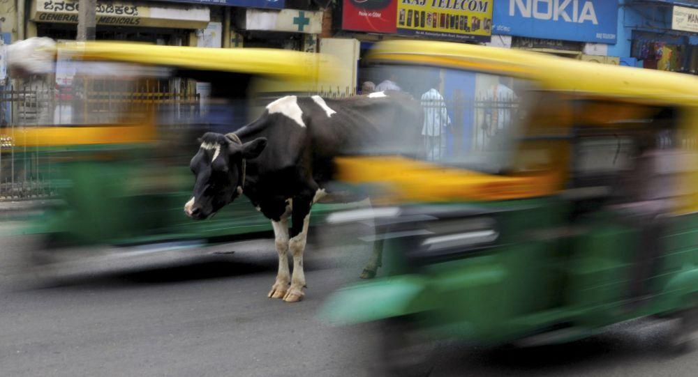 Con bò trên đường thành phố Bengaluru, Ấn Độ
