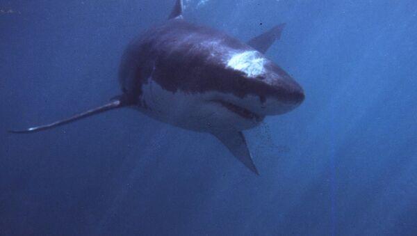 Cá mập trắng khổng lồ - Sputnik Việt Nam