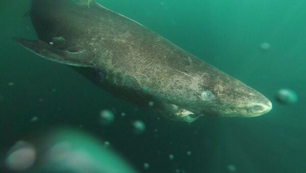 Cá mập Greenland (Somniosus microcephalus) - Sputnik Việt Nam