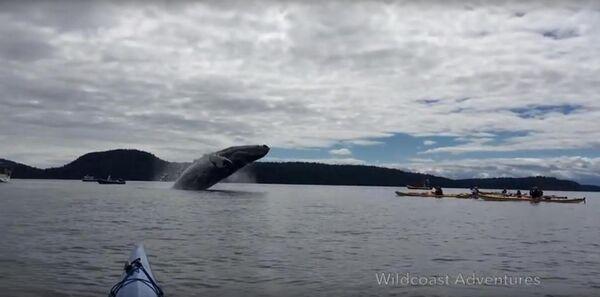 Xem cá voi khoe mình trước các tay đua thuyền thoi Canada - Sputnik Việt Nam