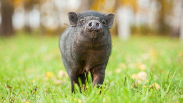 Con lợn mini Việt Nam - Sputnik Việt Nam