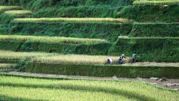 Những đồng lúa ở Việt Nam - Sputnik Việt Nam