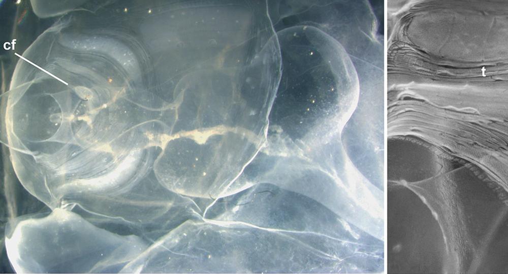 loài appendicularia bí ẩn