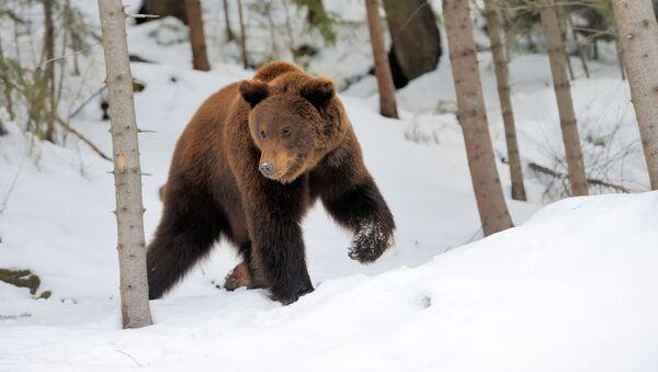 Gấu hoang dã trong rừng taiga - Sputnik Việt Nam