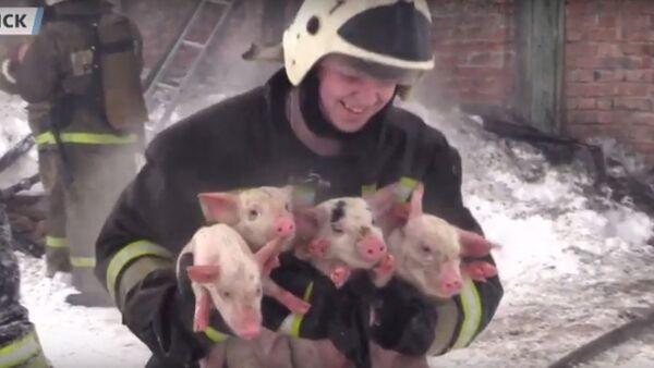 150 lợn con được bế ra khỏi trang trại bốc cháy - Sputnik Việt Nam