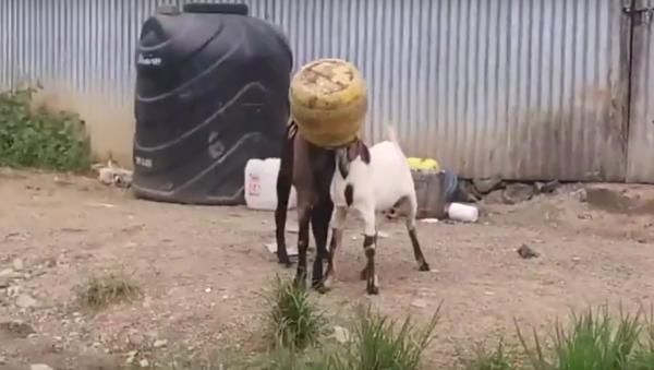 hai con dê bị kẹt đầu trong bi đông - Sputnik Việt Nam