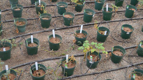 Los cultivos de papas - Sputnik Việt Nam