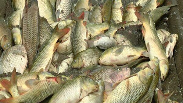 Cá của người dân tại thôn Tân Lợi (xã Xuân Giao, huyện Bảo Thắng, Lào Cai) chết trắng - Sputnik Việt Nam