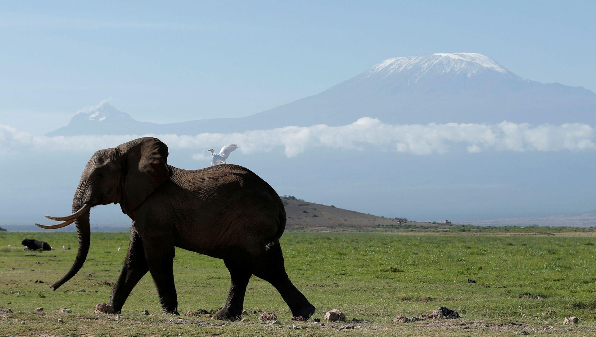 Kenya. Con voi trong công viên quốc gia Amboseli, phía sau là núi Kilimanjaro. - Sputnik Việt Nam, 1920, 11.08.2021