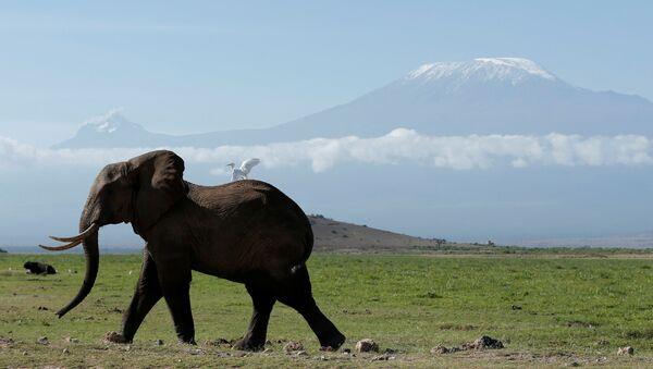 Kenya. Con voi trong công viên quốc gia Amboseli, phía sau là núi Kilimanjaro. - Sputnik Việt Nam