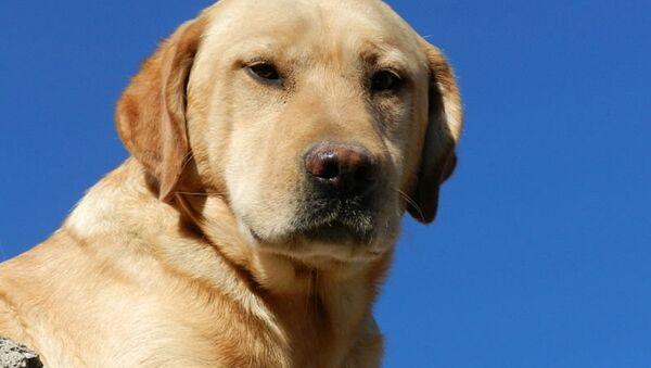 Con chó Labrador - Sputnik Việt Nam