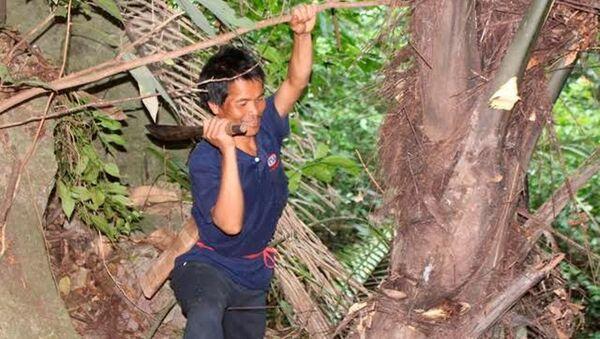 Chặt ngọn cây đoác để hứng rượu - Sputnik Việt Nam
