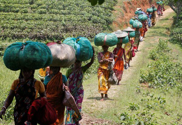 Ấn Độ. Nữ công nhân thu hoạch chè trên đồn điền. - Sputnik Việt Nam