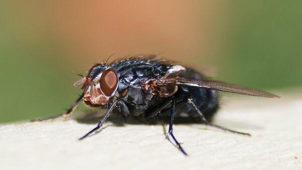 ruồi xanh (calliphora Vicina) - Sputnik Việt Nam