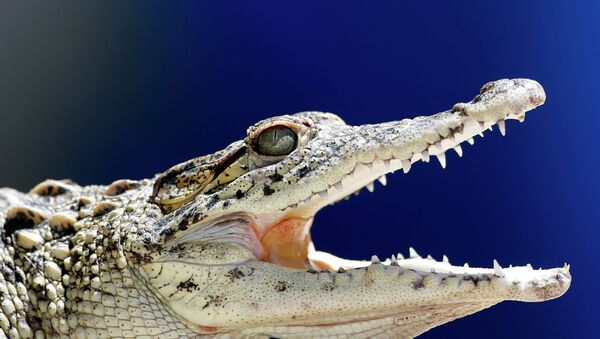 A young Cuban crocodile opens its jaws in a quarantined enclosure at the National Zoo in Havana, Cuba - Sputnik Việt Nam