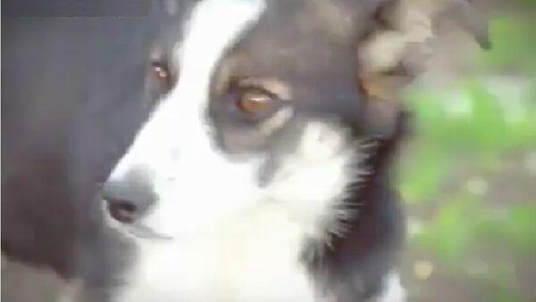 Chú chó Belka cấp cứư cậu bé 6 tuổi mất tích trong rừng - Sputnik Việt Nam