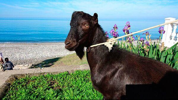 Obama The Goat - Sputnik Việt Nam