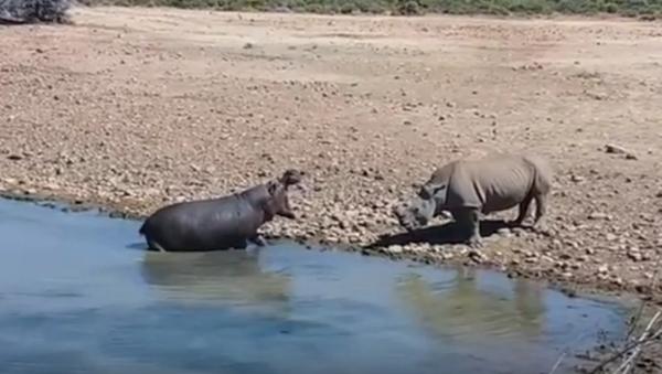 Hà mã tức giận dìm chết tê giác để bảo vệ nguồn nước - Sputnik Việt Nam