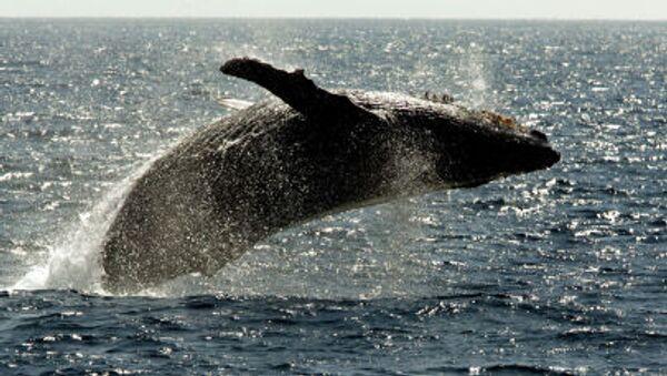 Cá voi mũi nhọn bơi trên bề mặt khu vực đảo Hawaii - Sputnik Việt Nam