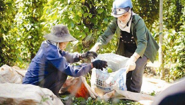 Việt Nam vẫn là nước sản xuất hạt tiêu lớn nhất thế giới. - Sputnik Việt Nam