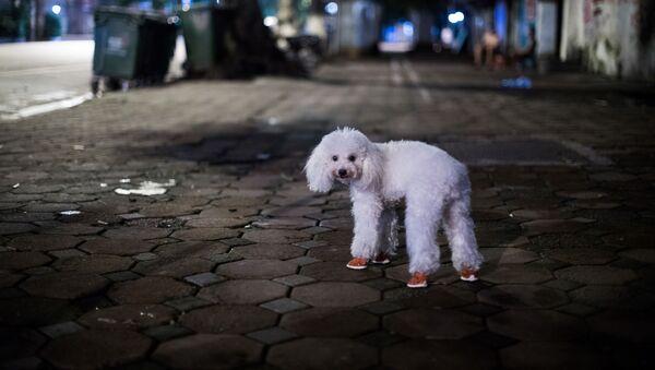 Chó con mang bốt dạo phố, Hà Nội - Sputnik Việt Nam