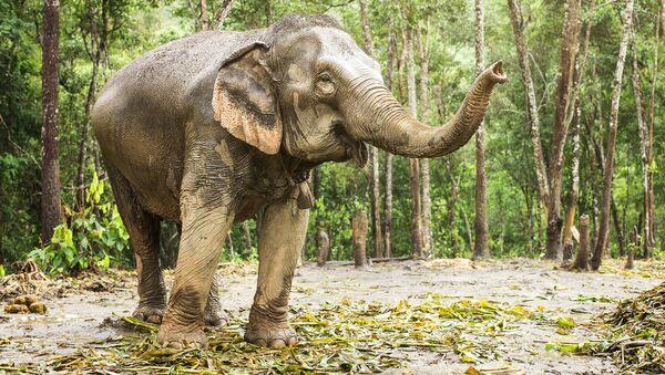 Слон в джунглях - Sputnik Việt Nam