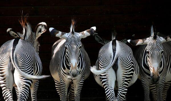 Đức. Ngựa vằn trong Vườn thú thành phố Augsburg. - Sputnik Việt Nam