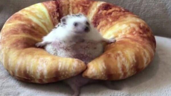 Bánh croissant vs con nhím nhỏ. - Sputnik Việt Nam
