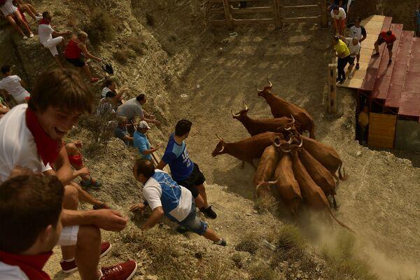 Tây Ban Nha. Dân làng đang cố bắt những con bò sổng chuồng. - Sputnik Việt Nam