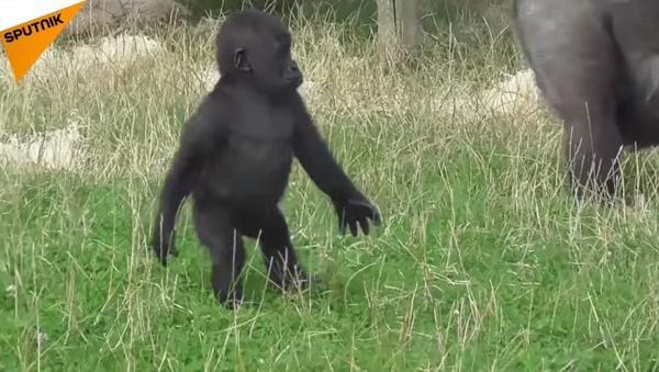 Vũ điệu loài khỉ (Video) - Sputnik Việt Nam