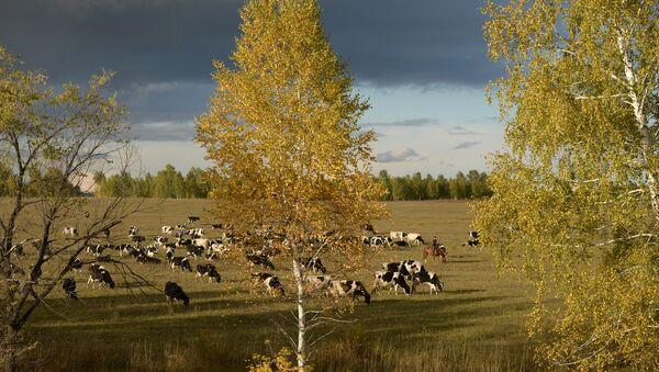 Con bò sữa ở Siberia - Sputnik Việt Nam