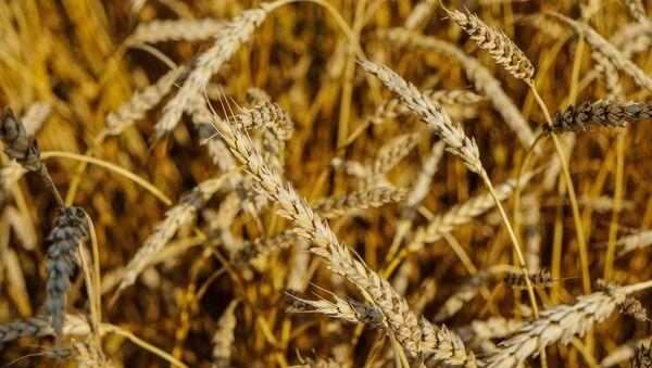 Lúa mì ở Nga - Sputnik Việt Nam