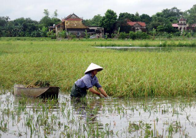 Nam Định. Cánh đồng lúa ngập nước.