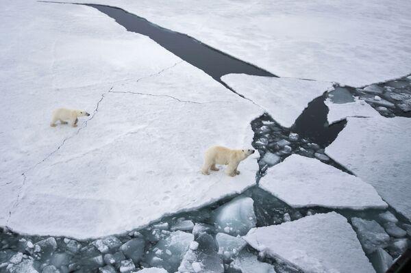 Trắng gấu mẹ và gấu con tại quần đảo Franz Josef Land ở Biển Barents - Sputnik Việt Nam