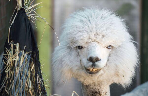 """Những con lạc đà không bướu trong trang trại """"Alpaca Nga tại Kurkino, Moskva - Sputnik Việt Nam"""