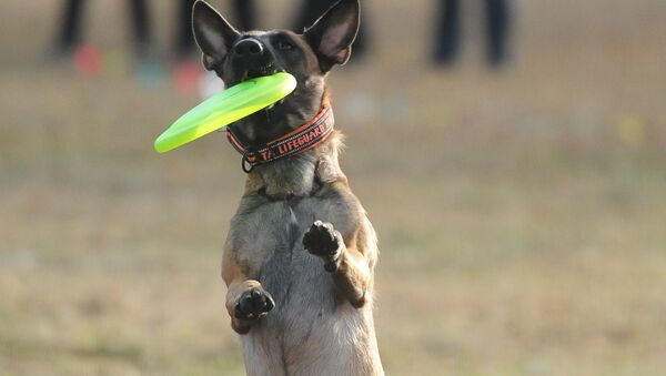 Con chó nòi Malinois Bỉ - Sputnik Việt Nam
