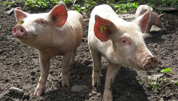 con lợn - Sputnik Việt Nam