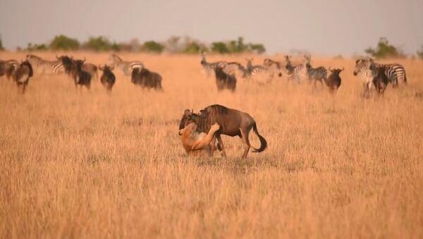 cuộc đụng độ giữa sư tử và linh dương - Sputnik Việt Nam