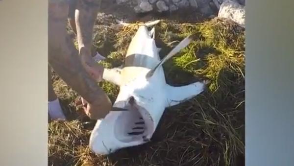 Video gây sốc: Cá mập suýt cắn tay người cứu nó - Sputnik Việt Nam
