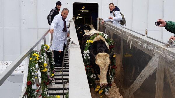 Tập đoàn TH đón đàn bò sữa cao sản HF đầu tiên nhập khẩu từ Mỹ về trang trại tại Moscow- Liên bang Nga. - Sputnik Việt Nam