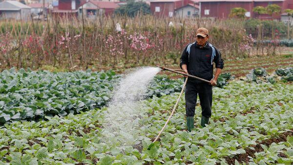 Người nông dân chăm sóc bắp cải ở ngoại thành Hà Nội, Việt Nam - Sputnik Việt Nam