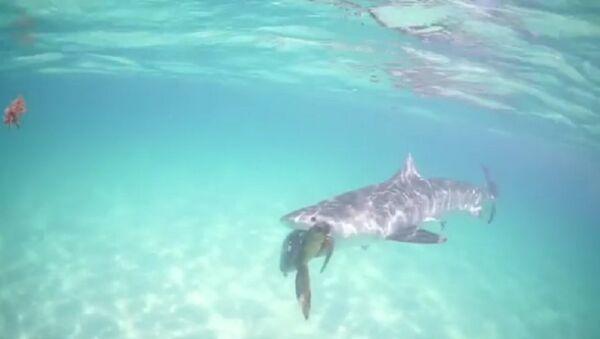 Cuộc ảu đả của cá mập báo và rùa - Sputnik Việt Nam
