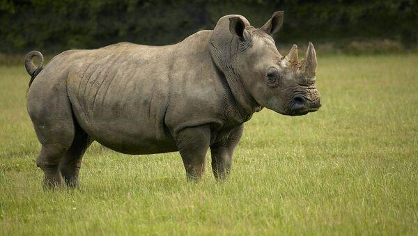 White Rhinoceros - Sputnik Việt Nam