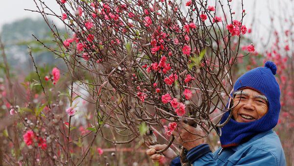 Một nông dân trong vườn đào ở Hà Nội, Việt Nam - Sputnik Việt Nam