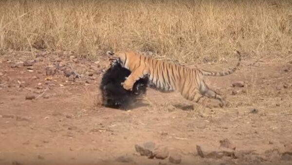 Hổ cũng liệu hồn nếu dám trêu gấu mẹ bảo vệ con - Sputnik Việt Nam