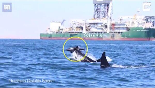 Cá voi sát thủ sát hại cá heo - Sputnik Việt Nam