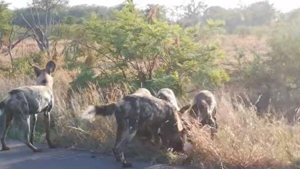 Video ghi lại cuộc chiến cướp mồi giữa chó và linh cẩu - Sputnik Việt Nam